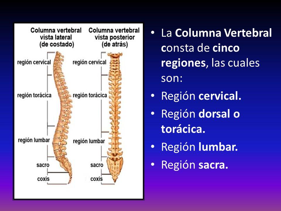 La Columna Vertebral consta de cinco regiones, las cuales son: