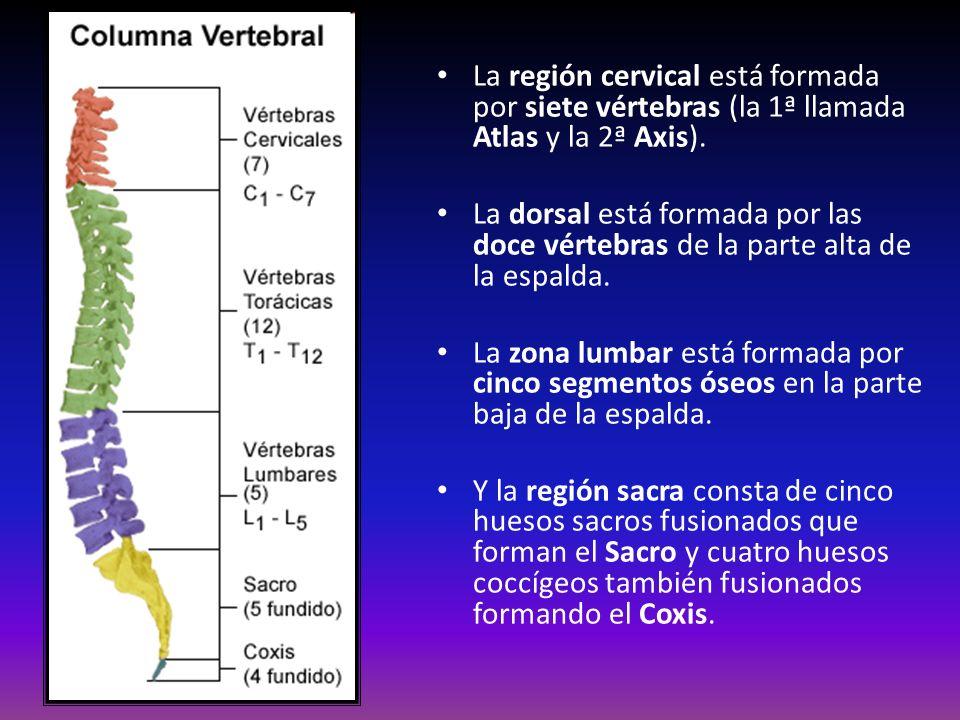 La región cervical está formada por siete vértebras (la 1ª llamada Atlas y la 2ª Axis).