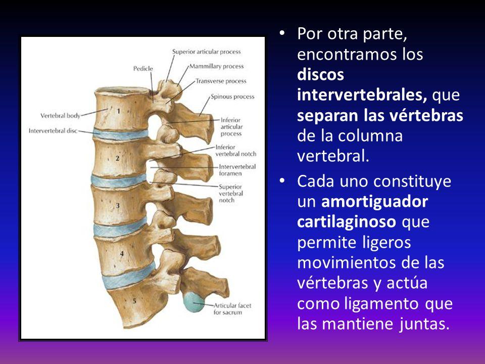 Por otra parte, encontramos los discos intervertebrales, que separan las vértebras de la columna vertebral.