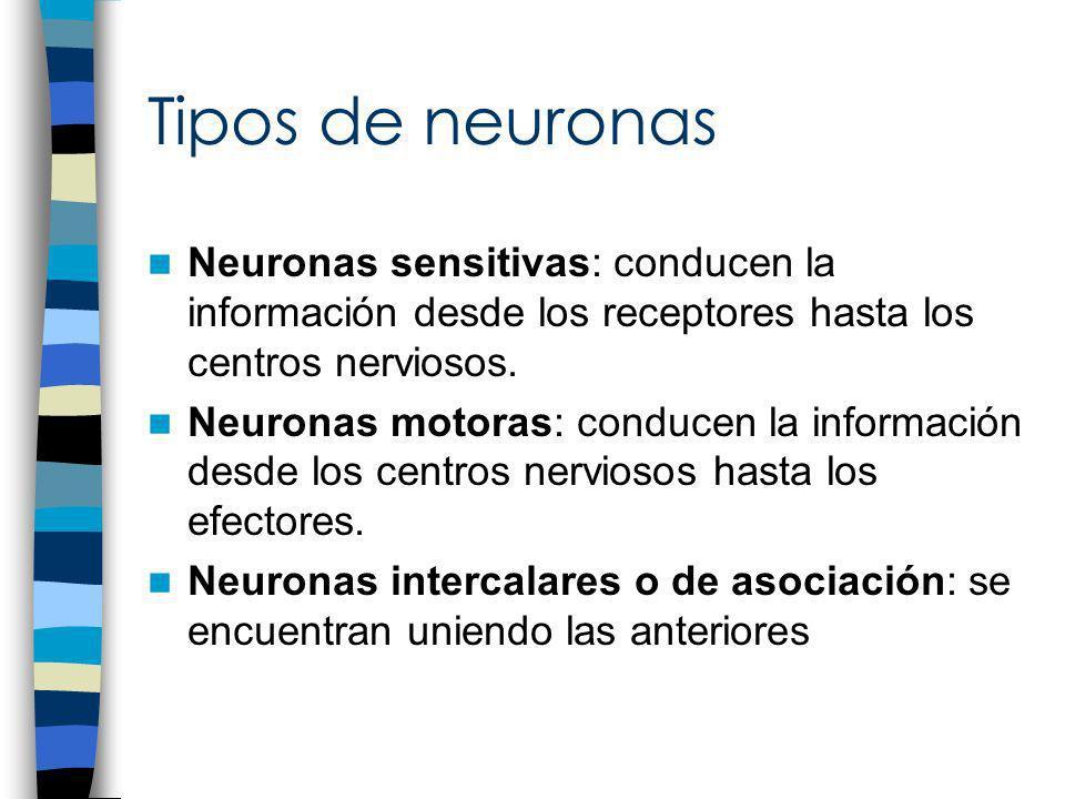 Tipos de neuronasNeuronas sensitivas: conducen la información desde los receptores hasta los centros nerviosos.