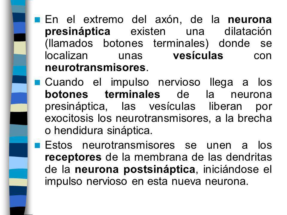 En el extremo del axón, de la neurona presináptica existen una dilatación (llamados botones terminales) donde se localizan unas vesículas con neurotransmisores.
