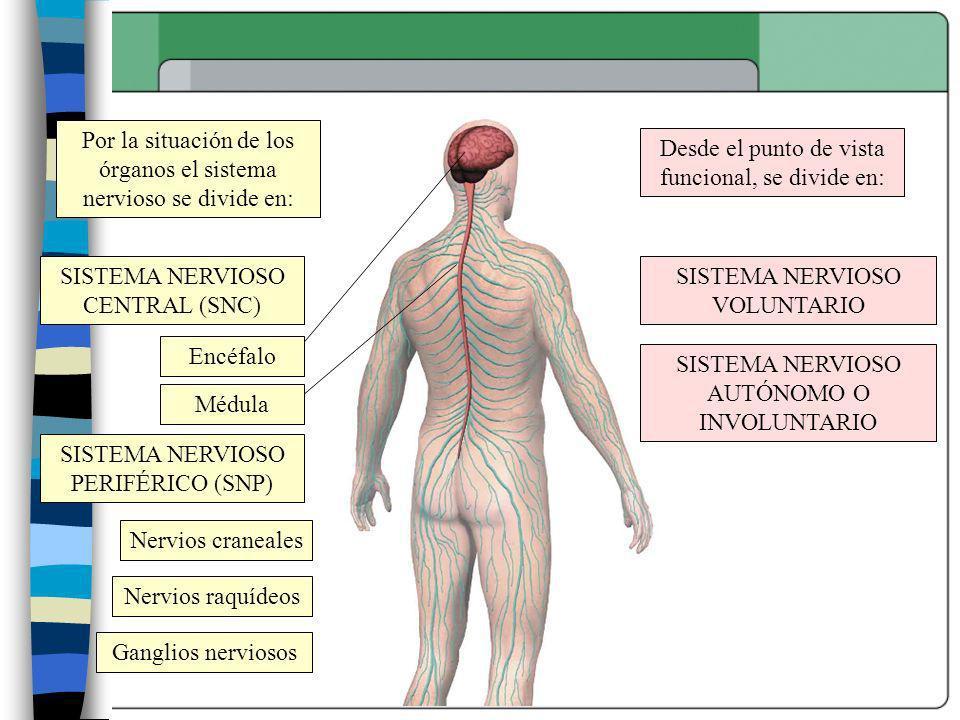 Por la situación de los órganos el sistema nervioso se divide en: