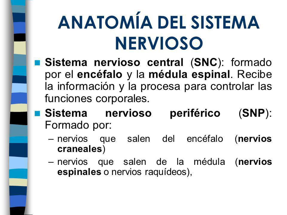 Snap Anatomía del Sistema nervioso ppt video online descargar photos ...