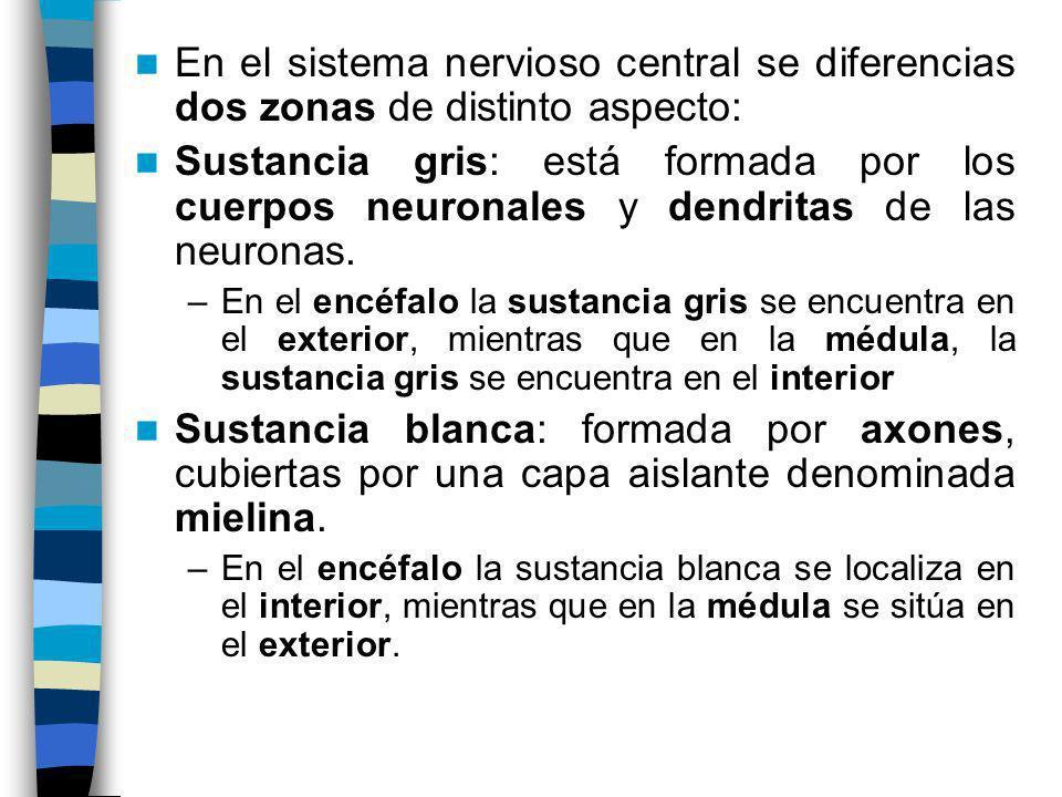 En el sistema nervioso central se diferencias dos zonas de distinto aspecto: