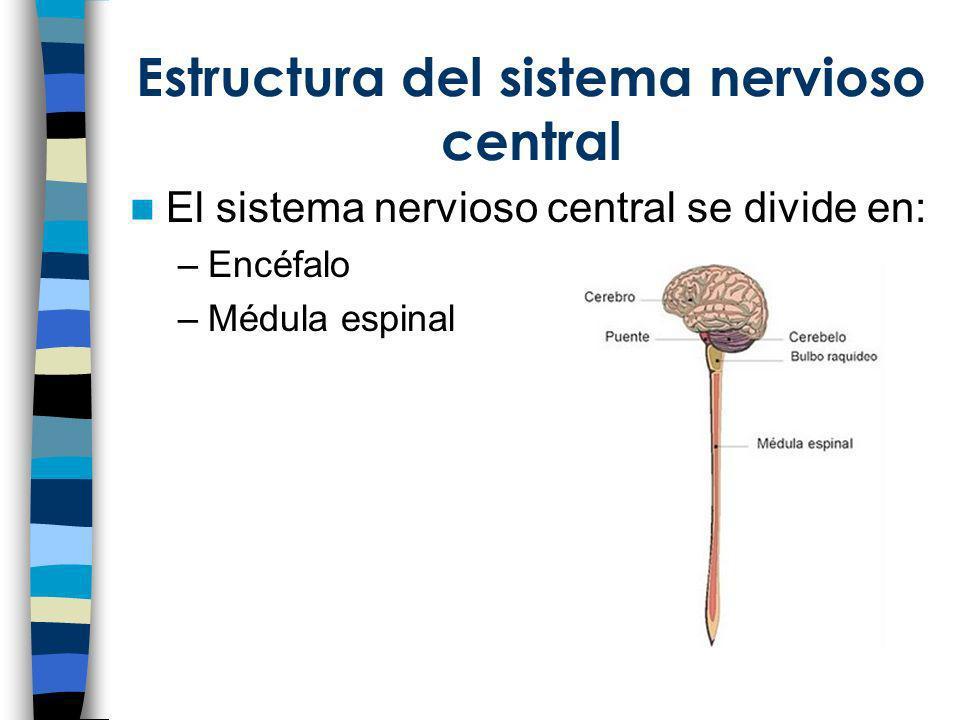 Estructura del sistema nervioso central