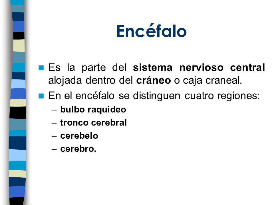 Encéfalo Es la parte del sistema nervioso central alojada dentro del cráneo o caja craneal. En el encéfalo se distinguen cuatro regiones: