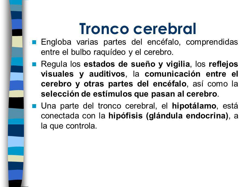 Tronco cerebral Engloba varias partes del encéfalo, comprendidas entre el bulbo raquídeo y el cerebro.