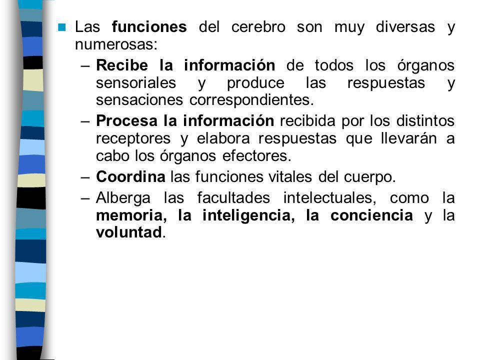 Las funciones del cerebro son muy diversas y numerosas: