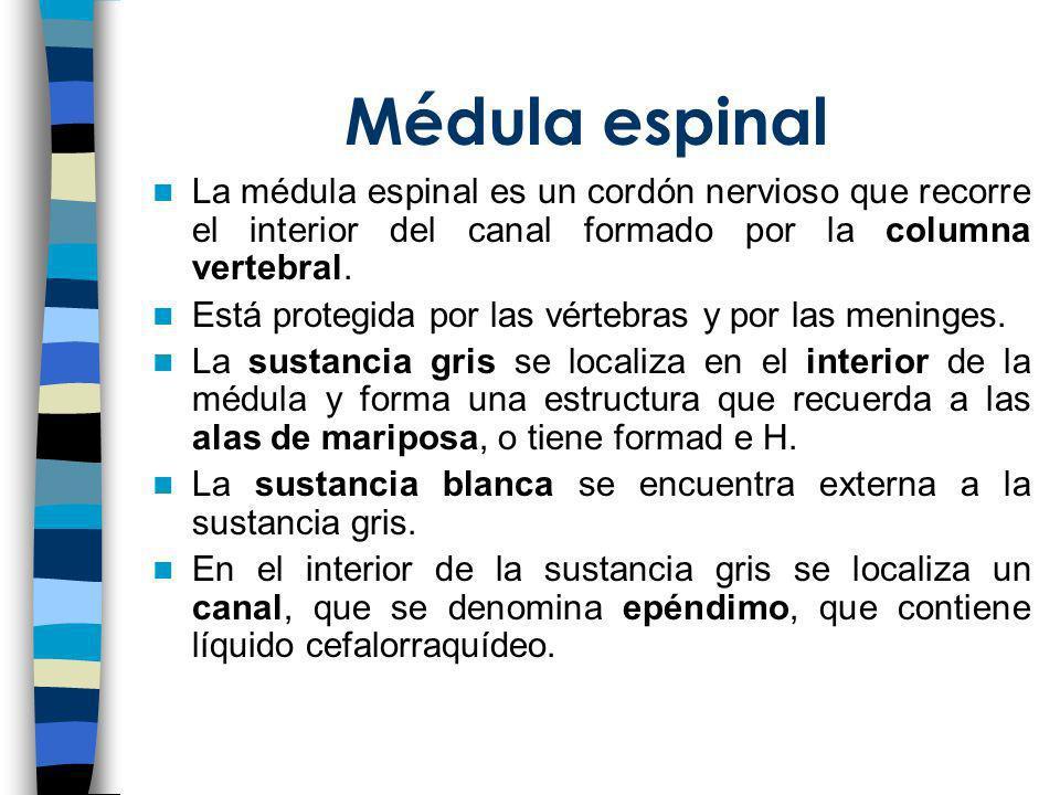 Médula espinalLa médula espinal es un cordón nervioso que recorre el interior del canal formado por la columna vertebral.