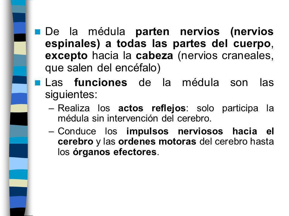 Las funciones de la médula son las siguientes: