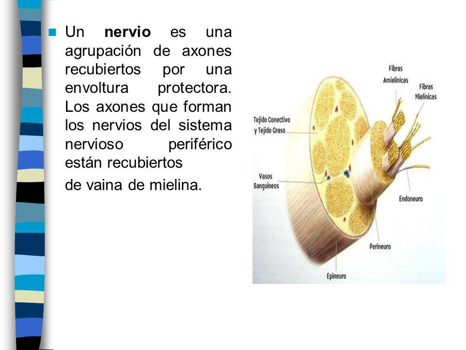 Un nervio es una agrupación de axones recubiertos por una envoltura protectora. Los axones que forman los nervios del sistema nervioso periférico están recubiertos