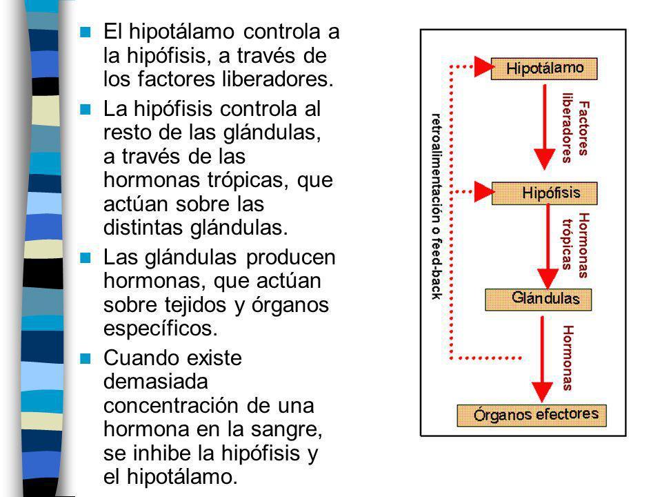 El hipotálamo controla a la hipófisis, a través de los factores liberadores.