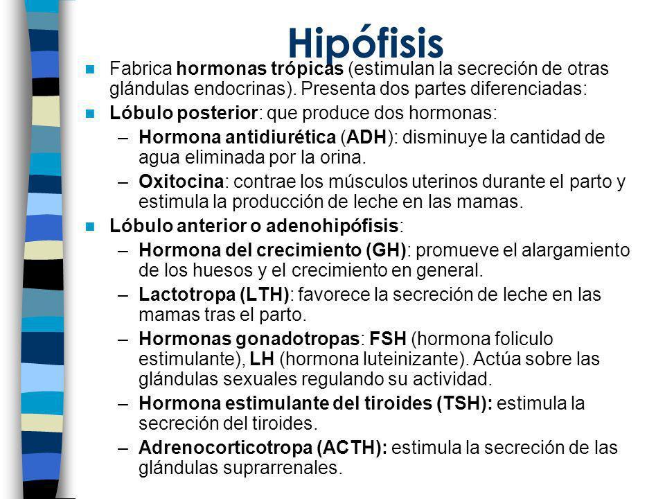 HipófisisFabrica hormonas trópicas (estimulan la secreción de otras glándulas endocrinas). Presenta dos partes diferenciadas: