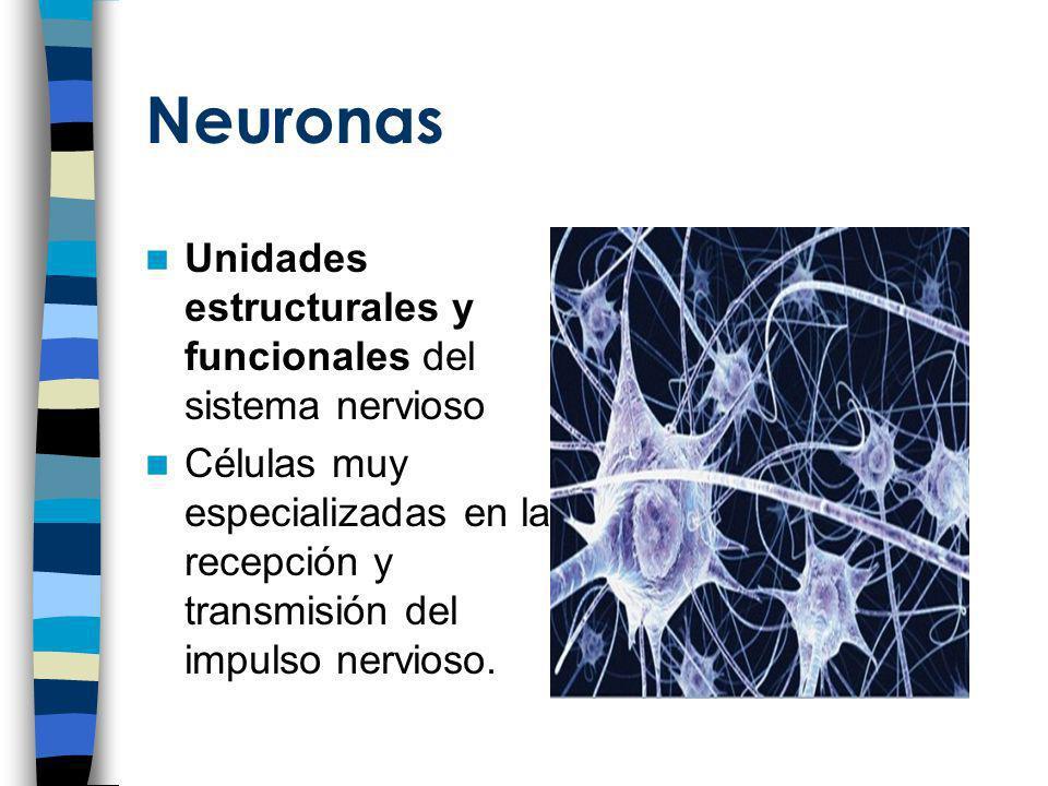 Neuronas Unidades estructurales y funcionales del sistema nervioso