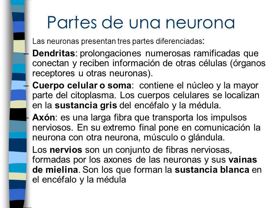 Partes de una neuronaLas neuronas presentan tres partes diferenciadas: