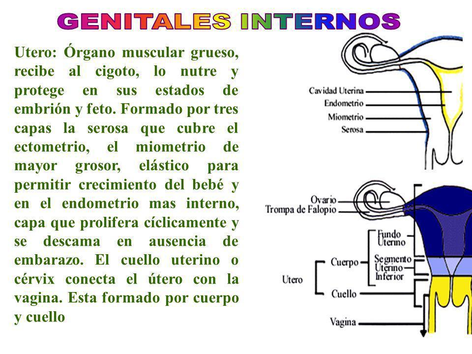 GENITALES INTERNOS