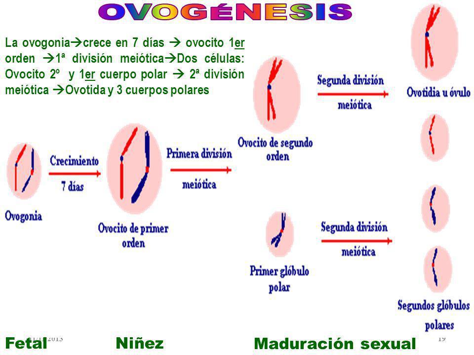OVOGÉNESIS Fetal Niñez Maduración sexual