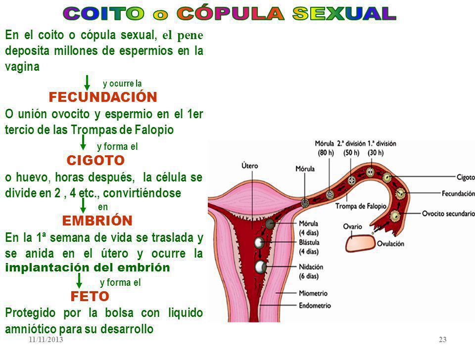 COITO o CÓPULA SEXUAL En el coito o cópula sexual, el pene deposita millones de espermios en la vagina.