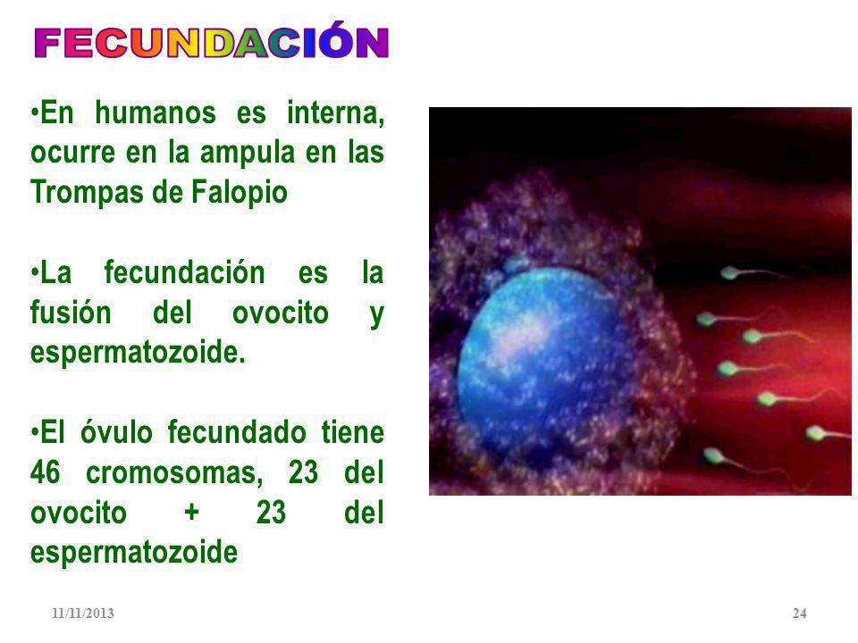En humanos es interna, ocurre en la ampula en las Trompas de Falopio