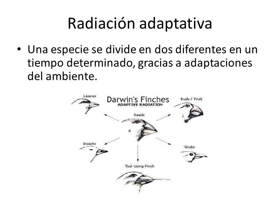 Radiación adaptativa Una especie se divide en dos diferentes en un tiempo determinado, gracias a adaptaciones del ambiente.