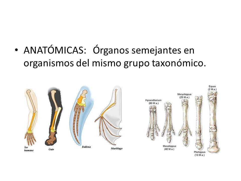 ANATÓMICAS: Órganos semejantes en organismos del mismo grupo taxonómico.