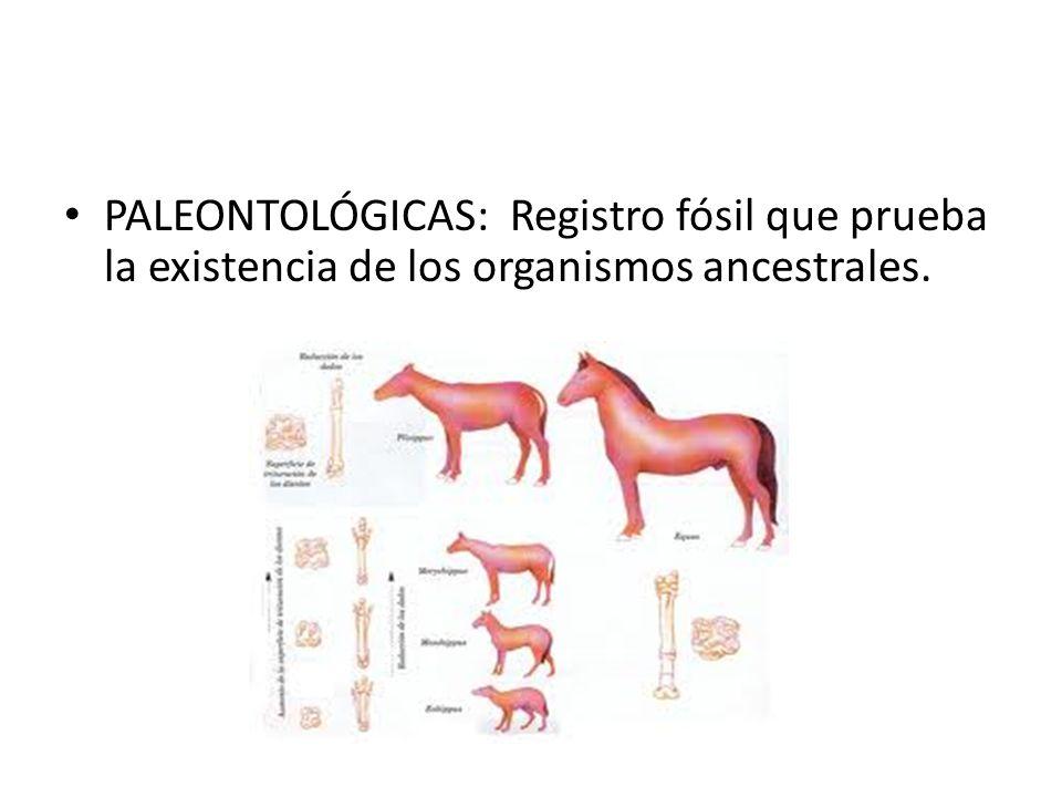 PALEONTOLÓGICAS: Registro fósil que prueba la existencia de los organismos ancestrales.