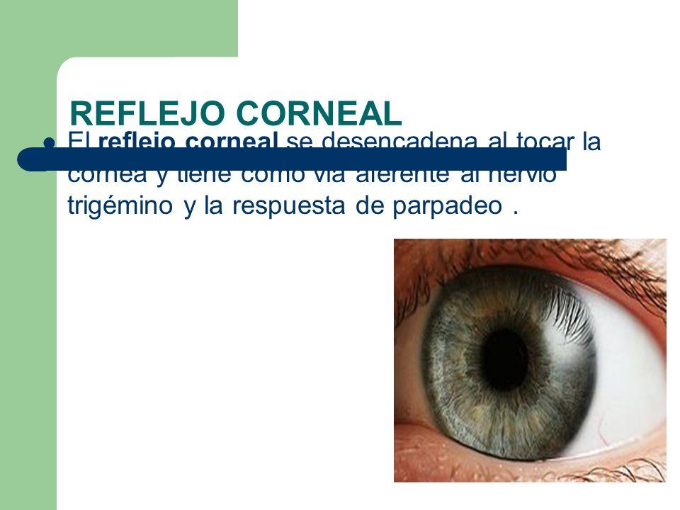 REFLEJO CORNEAL El reflejo corneal se desencadena al tocar la córnea y tiene como vía aferente al nervio trigémino y la respuesta de parpadeo .