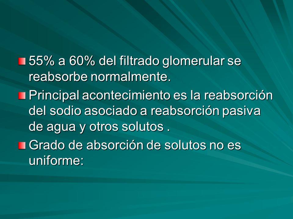 55% a 60% del filtrado glomerular se reabsorbe normalmente.
