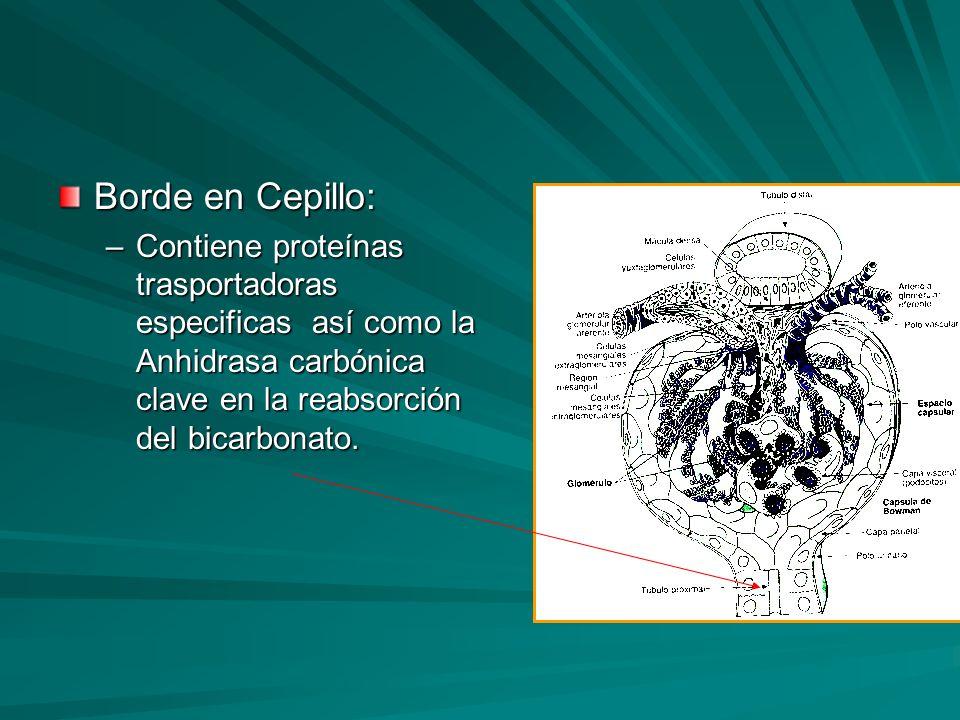 Borde en Cepillo: Contiene proteínas trasportadoras especificas así como la Anhidrasa carbónica clave en la reabsorción del bicarbonato.
