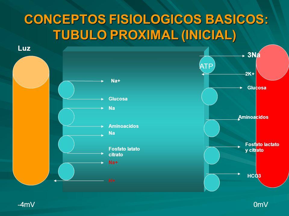 CONCEPTOS FISIOLOGICOS BASICOS: TUBULO PROXIMAL (INICIAL)
