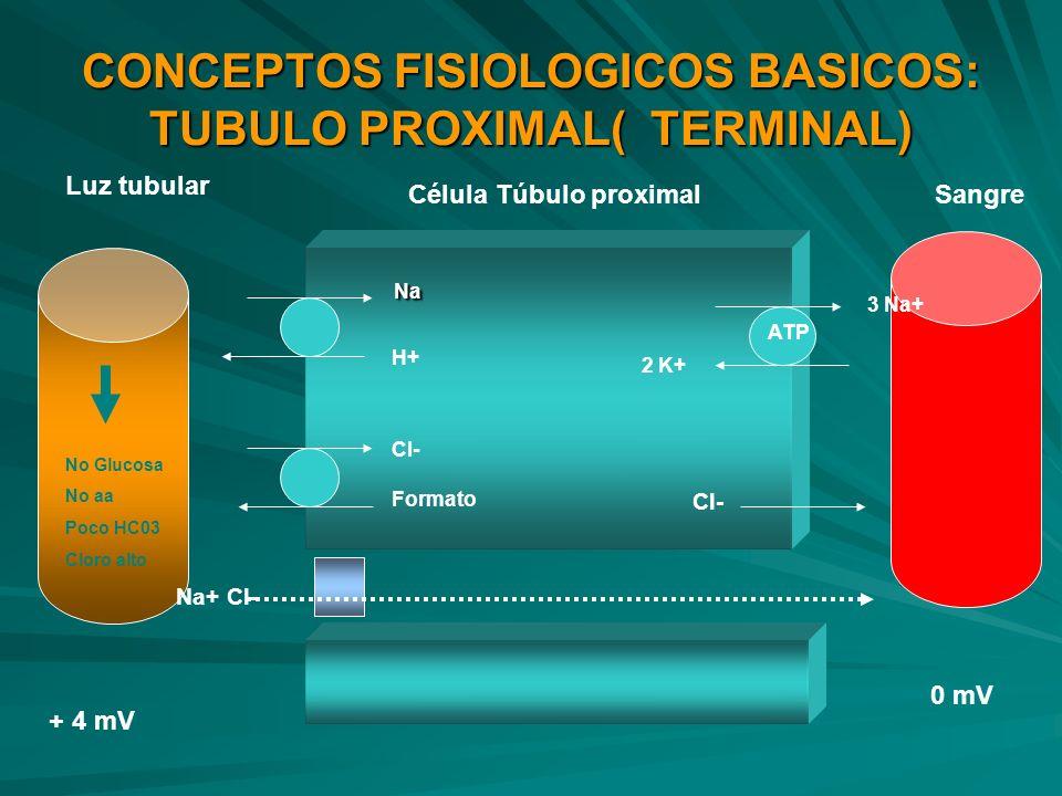 CONCEPTOS FISIOLOGICOS BASICOS: TUBULO PROXIMAL( TERMINAL)