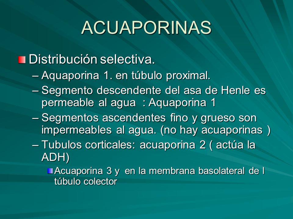 ACUAPORINAS Distribución selectiva. Aquaporina 1. en túbulo proximal.