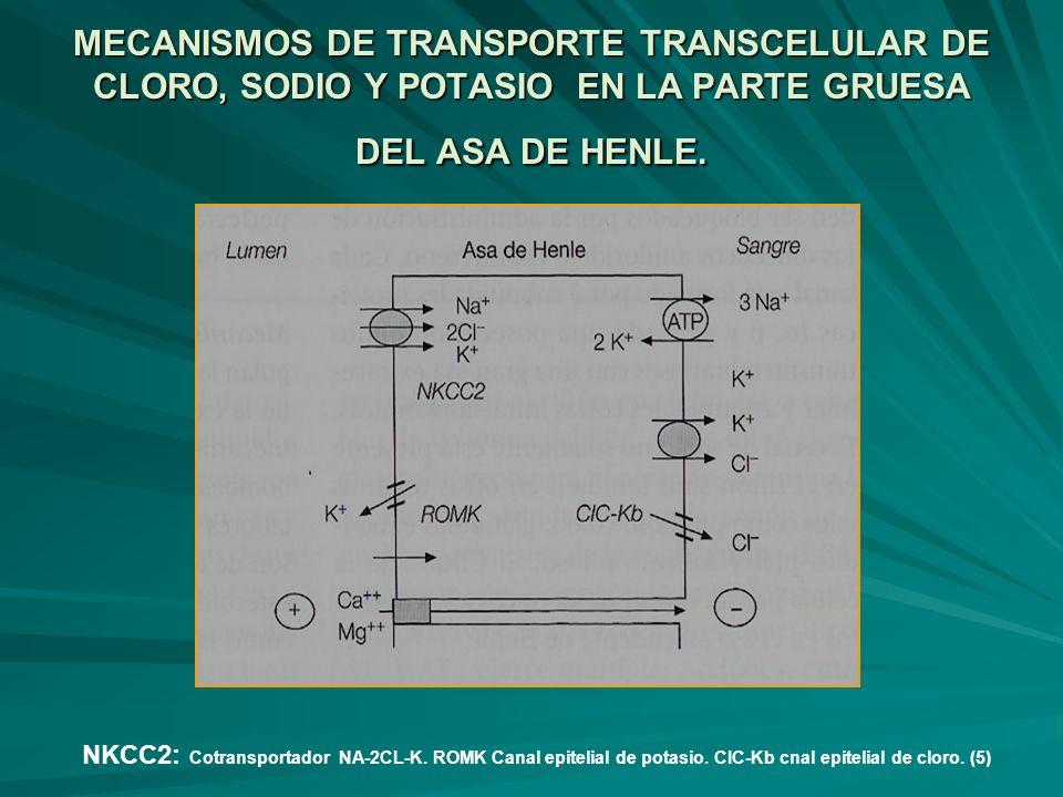 MECANISMOS DE TRANSPORTE TRANSCELULAR DE CLORO, SODIO Y POTASIO EN LA PARTE GRUESA DEL ASA DE HENLE.