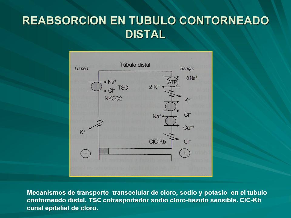 REABSORCION EN TUBULO CONTORNEADO DISTAL