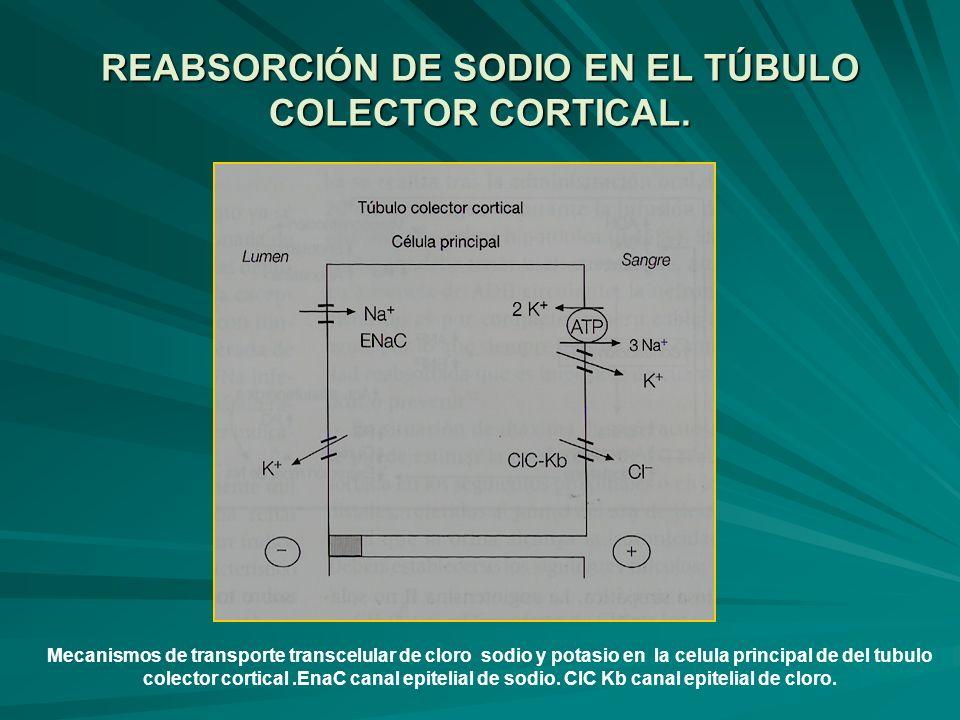 REABSORCIÓN DE SODIO EN EL TÚBULO COLECTOR CORTICAL.