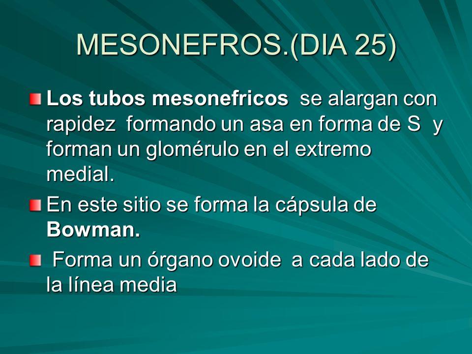 MESONEFROS.(DIA 25) Los tubos mesonefricos se alargan con rapidez formando un asa en forma de S y forman un glomérulo en el extremo medial.