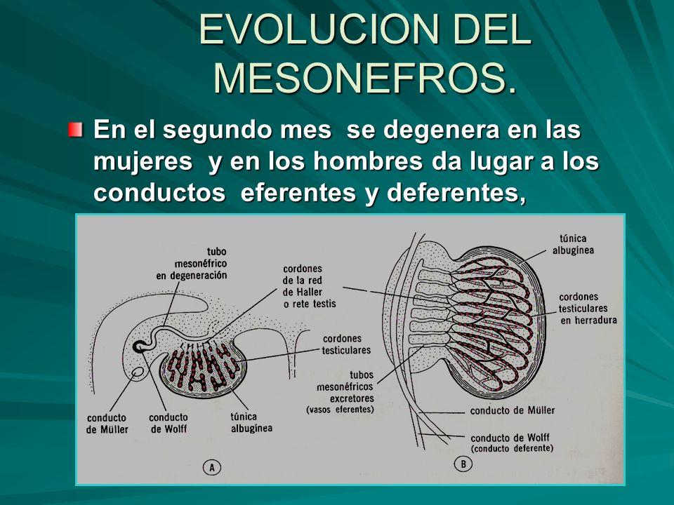 EVOLUCION DEL MESONEFROS.