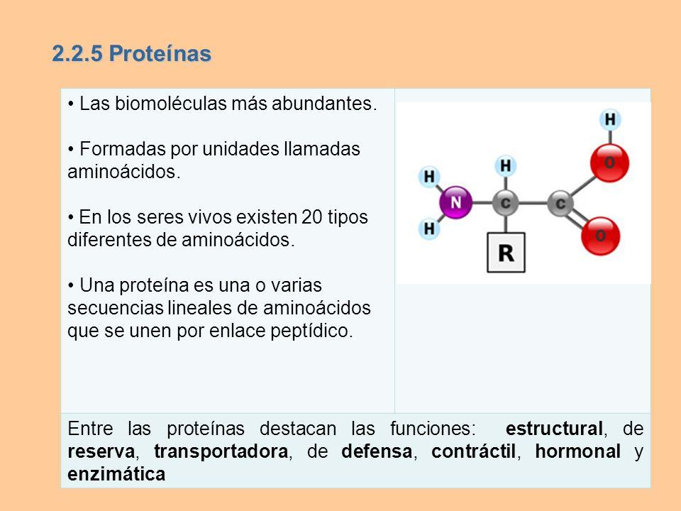 2.2.5 Proteínas • Las biomoléculas más abundantes.