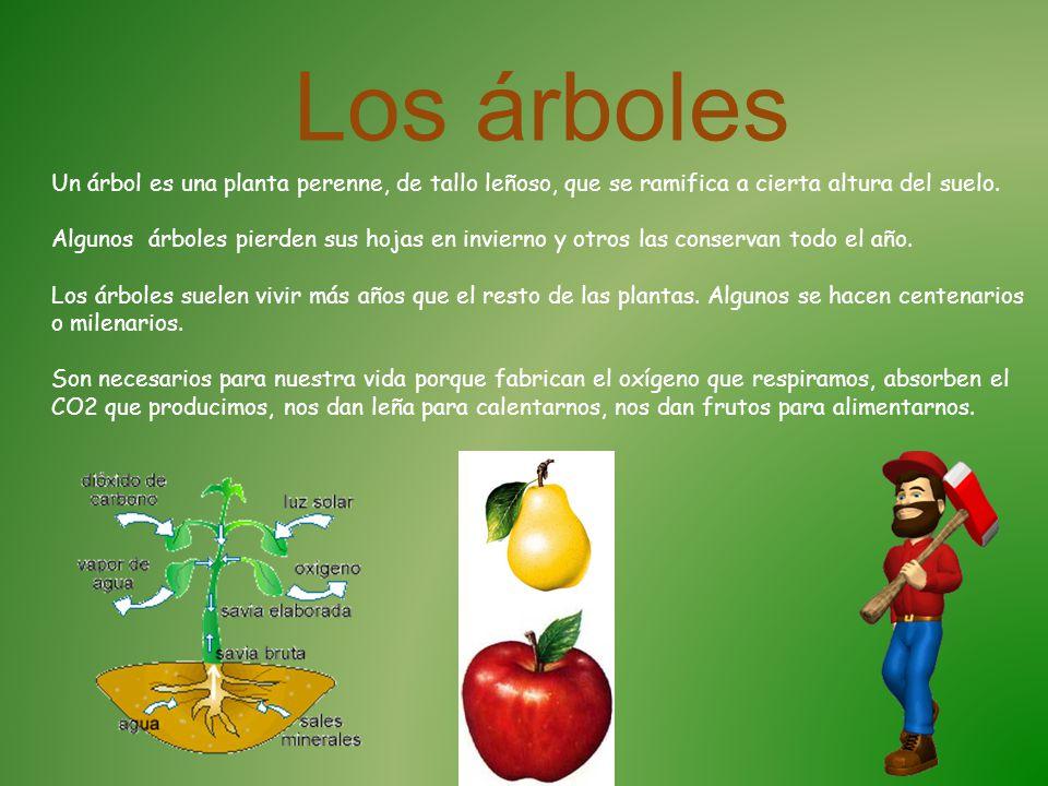 Los bosques y la vida ppt descargar for Porque hay arboles de hoja perenne