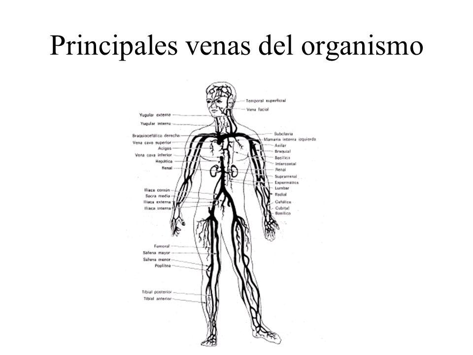 Magnífico Diagrama De Vena Humana Composición - Anatomía de Las ...