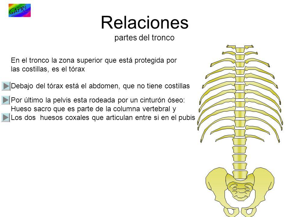 Relaciones partes del tronco