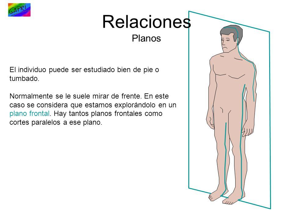 Relaciones Planos El individuo puede ser estudiado bien de pie o tumbado.