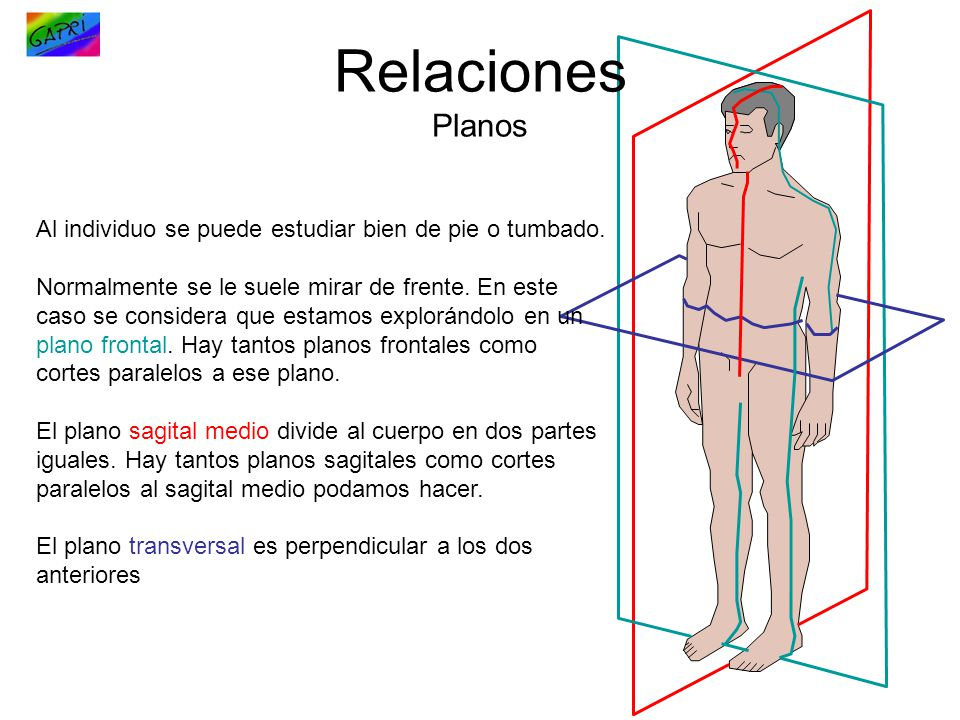 Relaciones Planos Al individuo se puede estudiar bien de pie o tumbado.