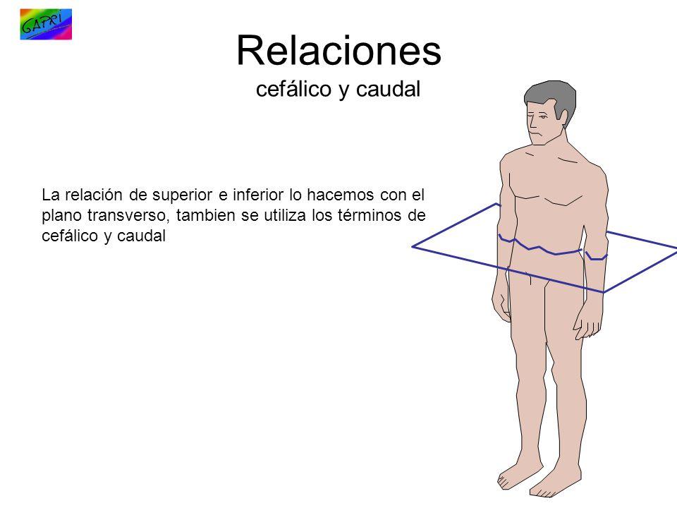 Relaciones cefálico y caudal