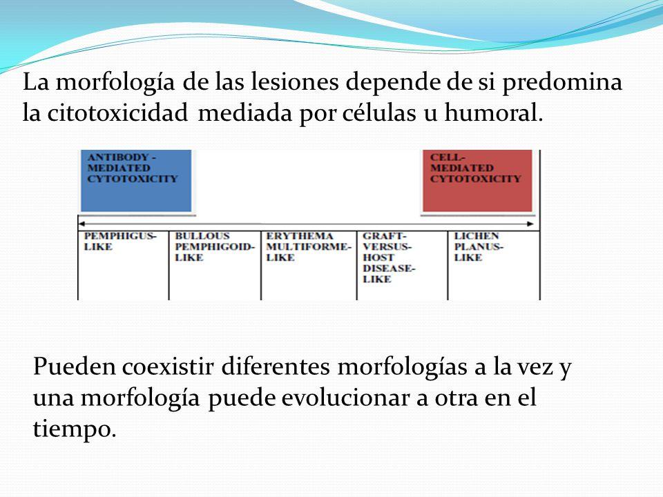 La morfología de las lesiones depende de si predomina la citotoxicidad mediada por células u humoral.