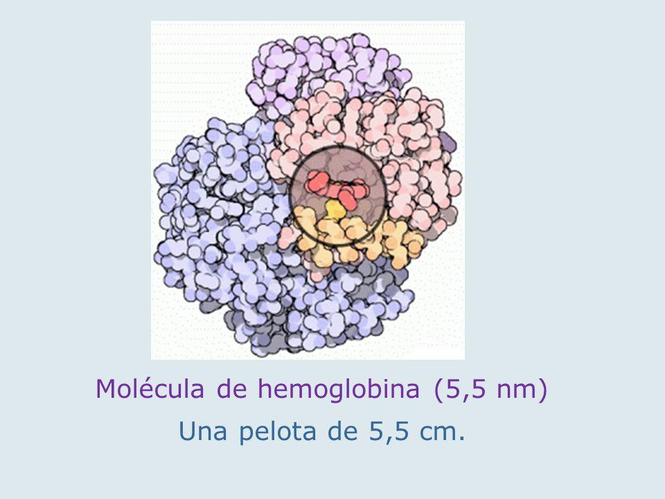 Molécula de hemoglobina (5,5 nm)