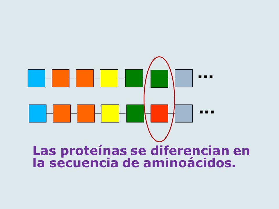 ... ... Las proteínas se diferencian en la secuencia de aminoácidos.