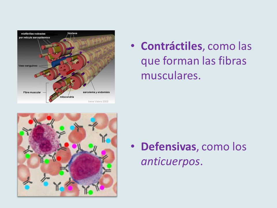 Contráctiles, como las que forman las fibras musculares.