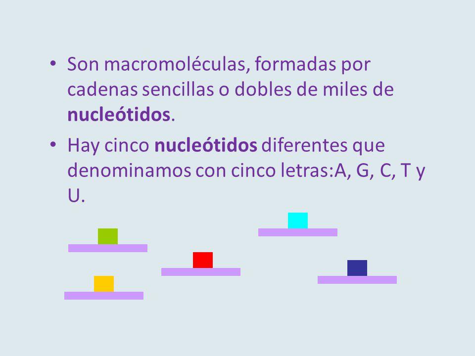 Son macromoléculas, formadas por cadenas sencillas o dobles de miles de nucleótidos.