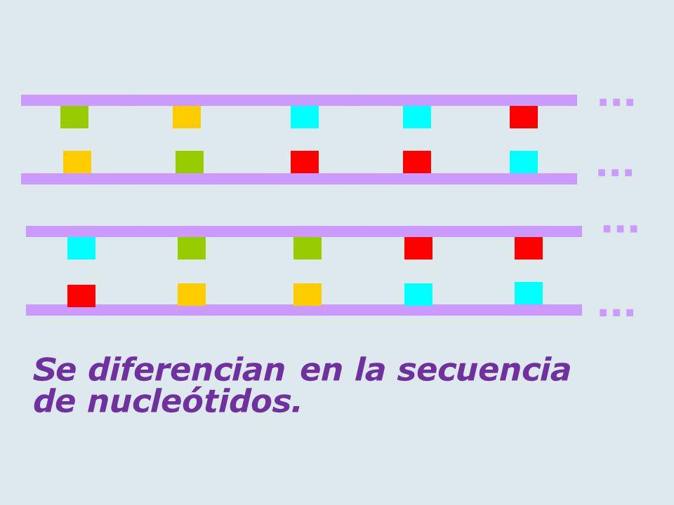 ... ... ... ... Se diferencian en la secuencia de nucleótidos.